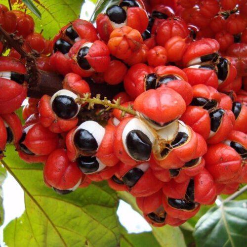 guarana semena